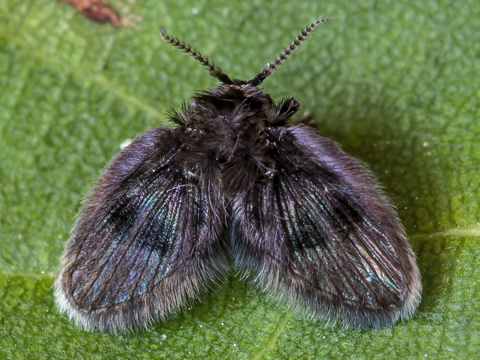 Undetermined representative of the Psychodidae family (photo by: Rudolf Cáfal)