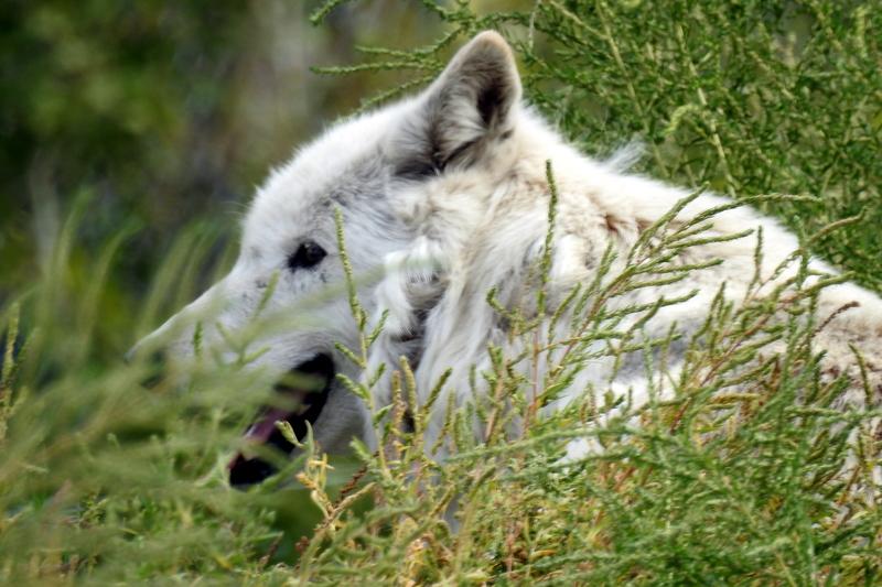 Obrázok 1. Vlk dravý (Canis lupus), Britská Kolumbia (Foto M. Hromada)