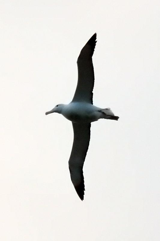 Obrázok 7. Albatros sépiar, Nový Zéland. (foto. M. Hromada)