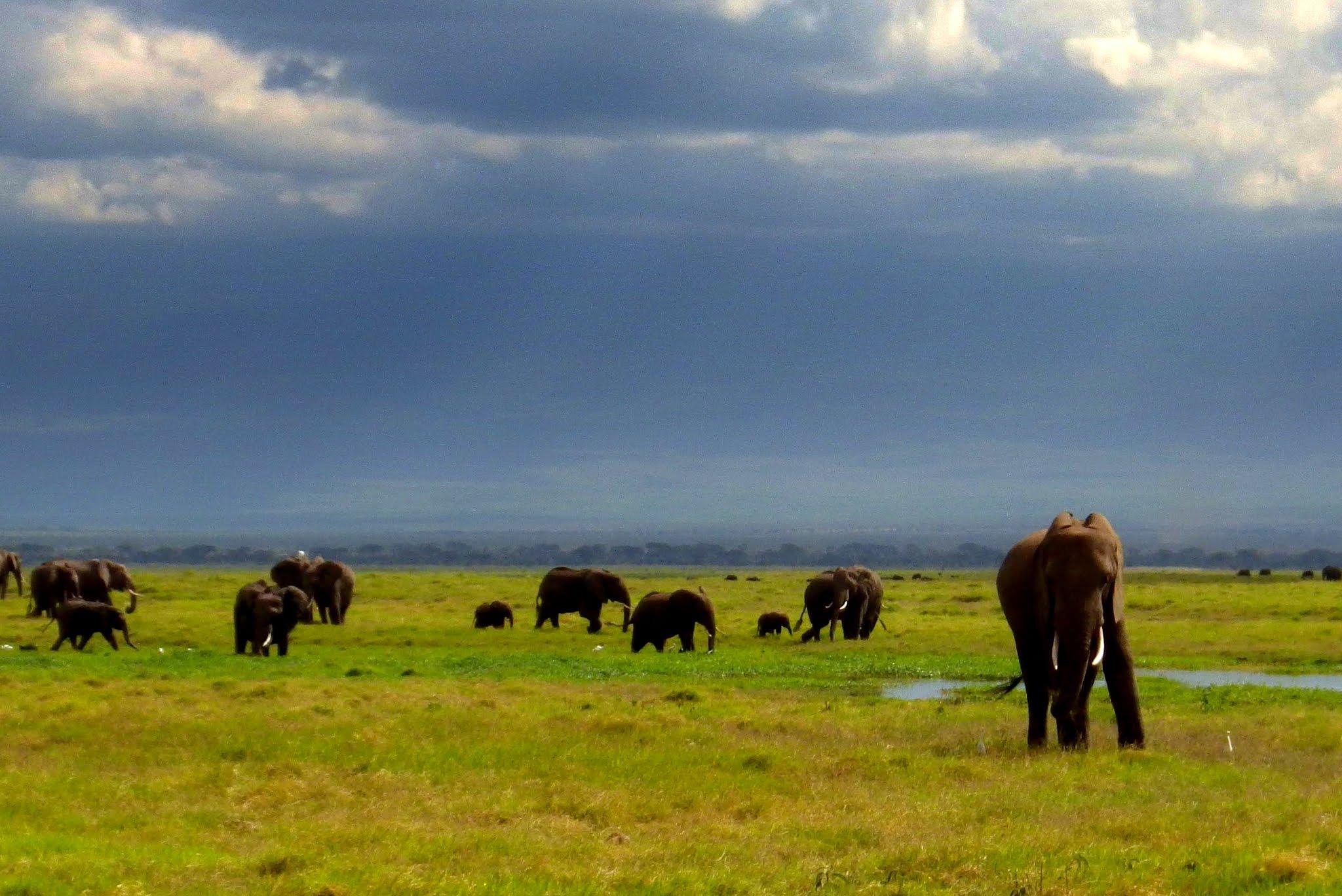 "Obrázok 2. Stádo ""ekologických inžinierov"" - slonov, Amboseli, Keňa. (Foto M. Hromada)"