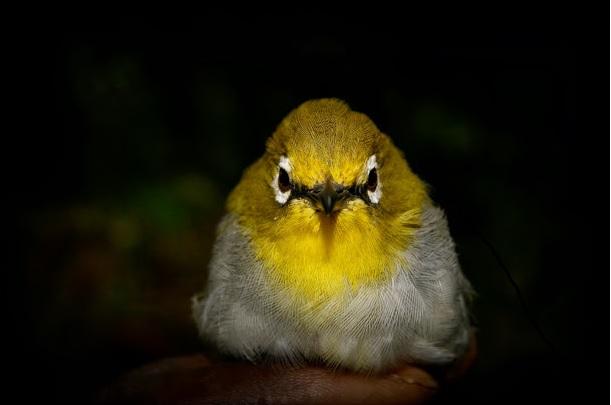 """""""Kulalskébieloočko"""" (angl. Kulal White-eye) Zosteropskulalensis patriaci do skupiny vrabcovitých (Passeriformes). (foto: L. W. Muithui, 2014)"""