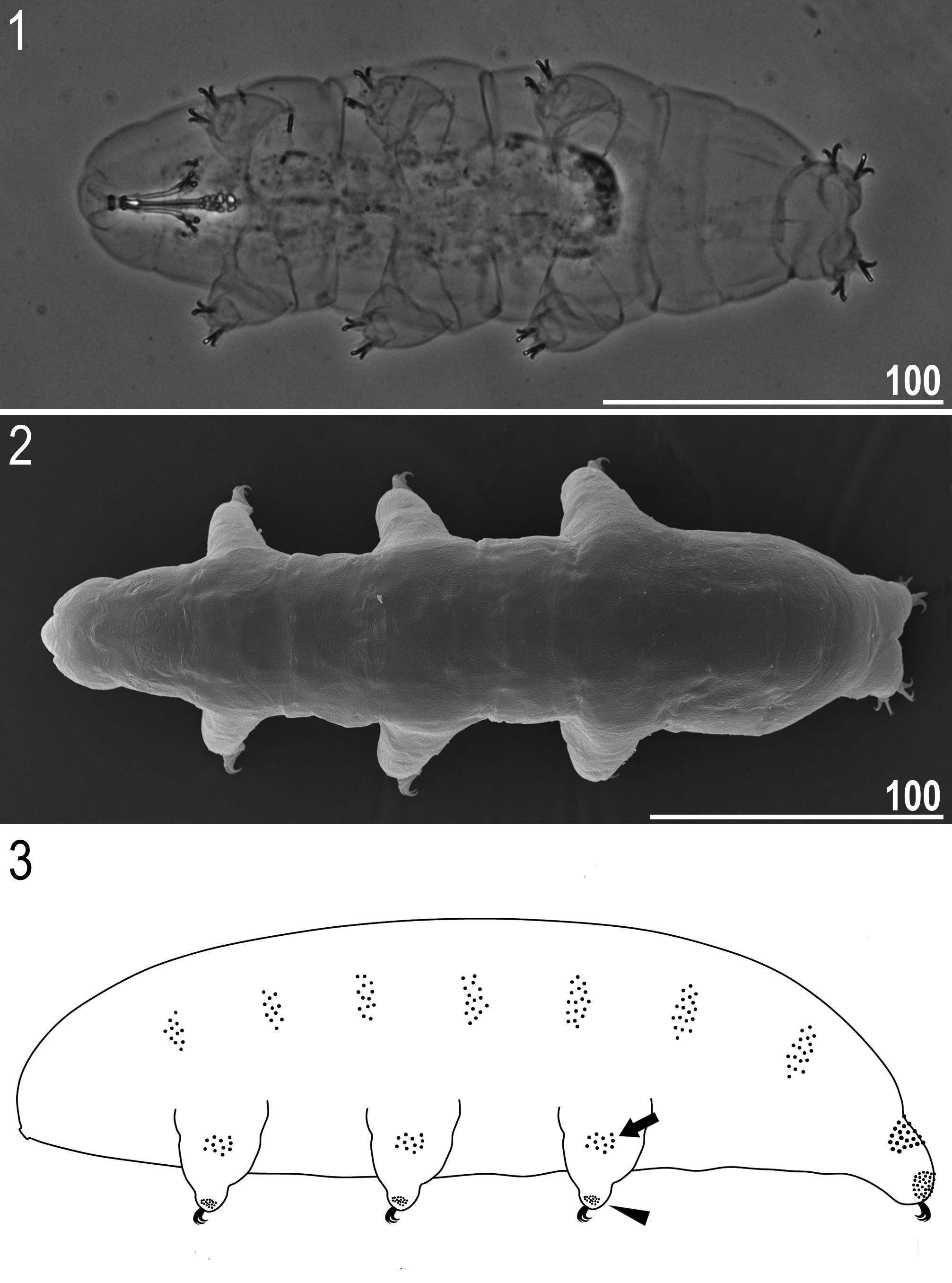Novopopísaný druh pomalkyMicrobiotuspaulinae(obrázok vľavo->foto pomocou mikroskopu: 1-pohľad z brušnej strany, 2-pohľad z chrbtovej strany; nákres: 3- z bočnej strany,