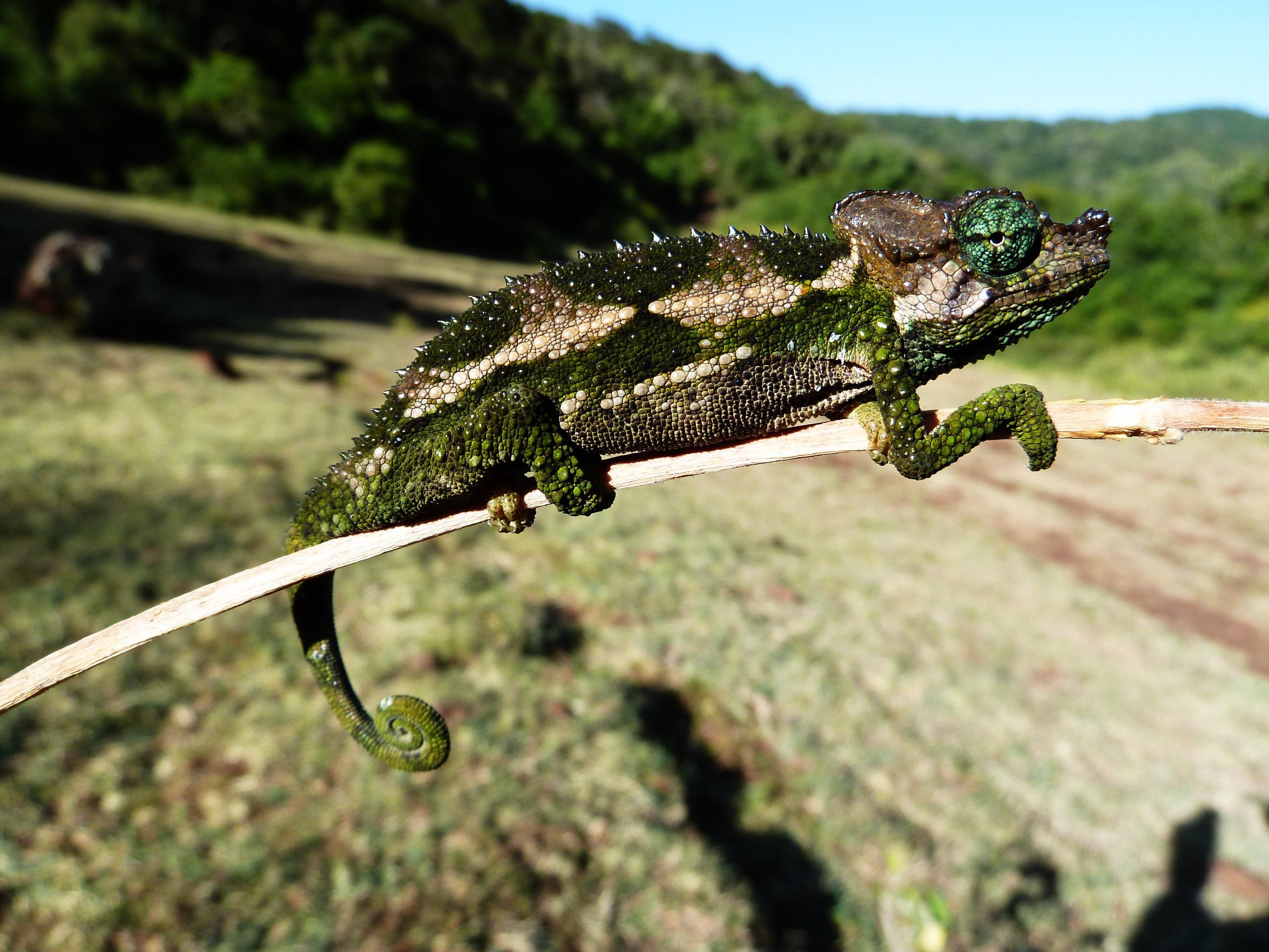 Druh plaza dlhodobo sa vyvíjajúci v podmienkach miestneho lesa. Chameleón s vedeckým názvom Chamaeleo (Trioceros) narraioca z čeľade Chamaeleonidae.