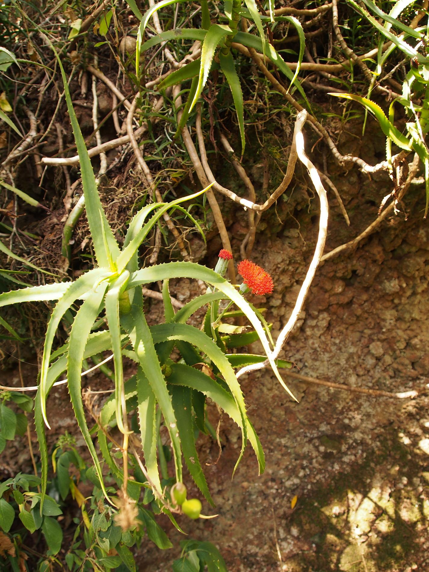 Endemické Aloe kulalensisz čeľadeživičníkovitých(Xanthorrhoeaceae).