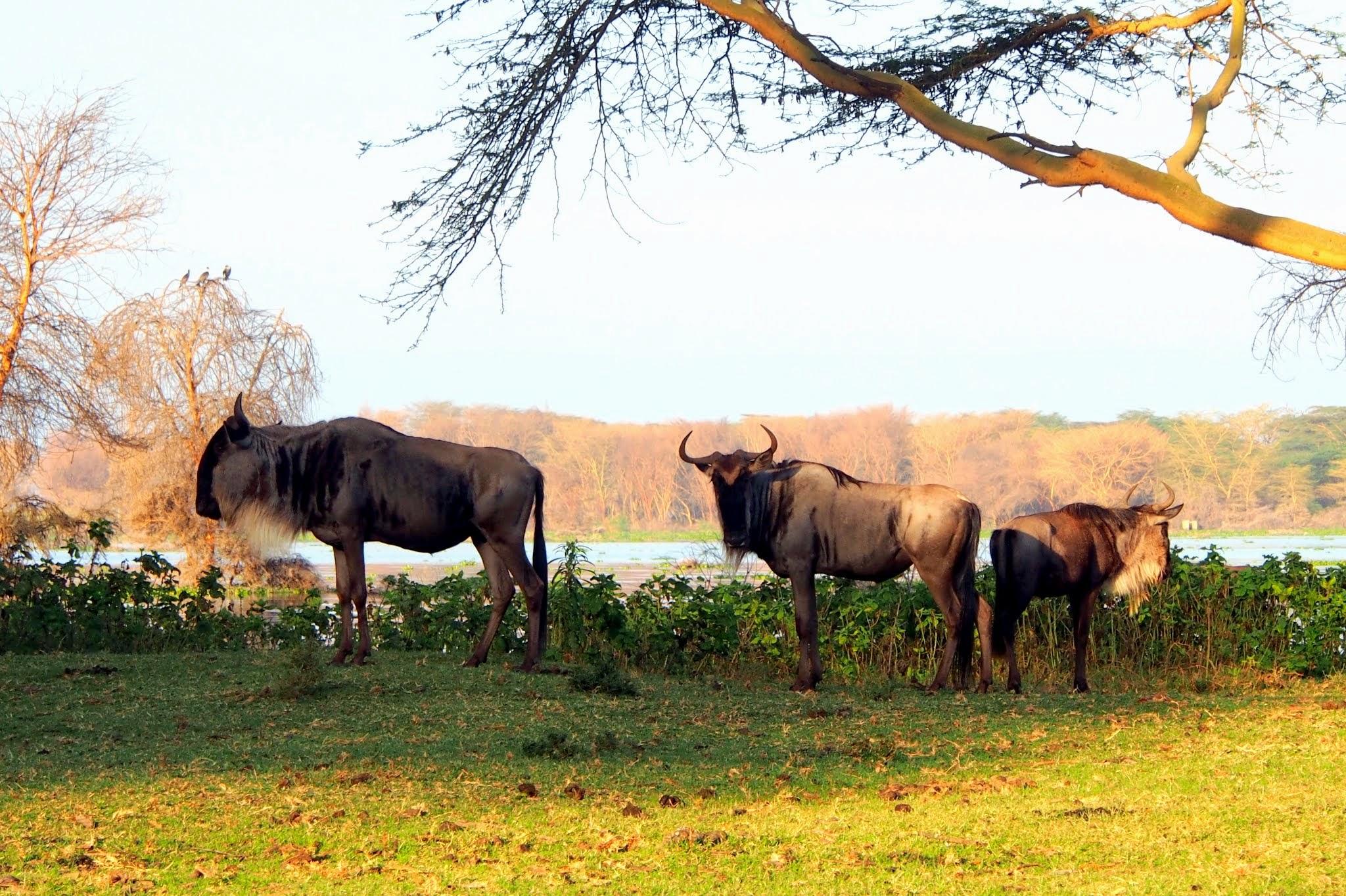 Obrázok 10. Stádo pakoní pásavých, Keňa (foto: M. Hromada).